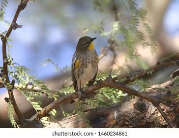 Yellow-rumped Warbler (Audubon's) (setophaga coronata)