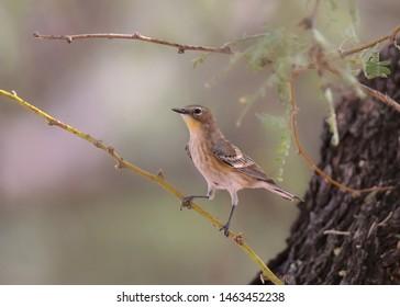 Yellow-rumped Warbler (Audubon's, winter) (setophaga coronata)