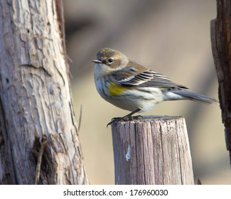 Yellow-rumped Warbler (Dendroica coronata) perched on a make-shift fence in the Texas Hill Country
