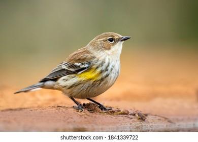 Yellow-rumped Warbler (Dendroica coronata) in winter plumage.