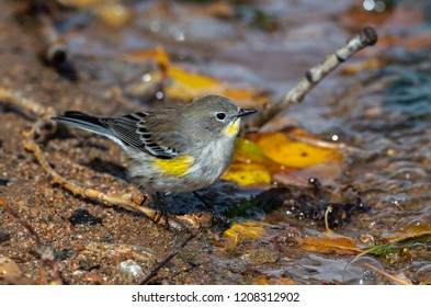 A Yellow-rumped Warbler Fledgling