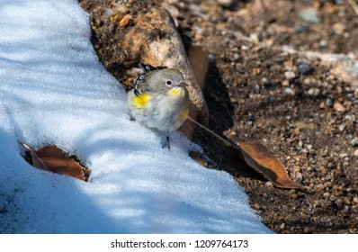 A Yellow-rumped Warbler Fledgling in the Snow