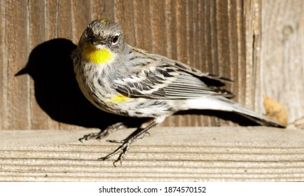 Yellow-rumped Warbler male perched on wooden fence. Santa Clara County, California, USA.