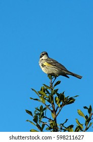 Yellow-rumped Warbler perched on Holly bush