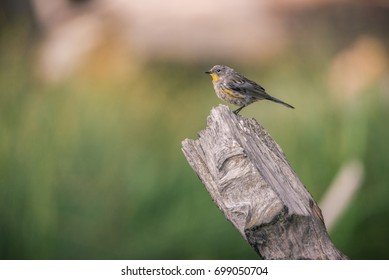 A Yellow-rumped Warbler perches on a branch on the shore of Manzanita Lake, Lassen Volcanic National Park, at sunset.