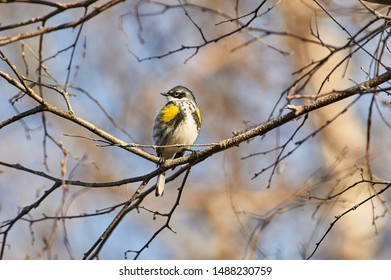 Yellow-rumped warbler (Setophaga coronata) AKA Myrtle Warbler, perched in a tree, Annapolis Royal Marsh, French Basin trail, Annapolis Royal, Nova Scotia, Canada