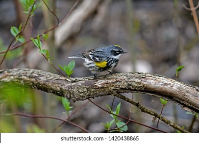 Yellow-rumped warbler or Setophaga coronata in dense brushy habitat on a cloudy spring day. It is a North American bird species that is common and conspicuous.