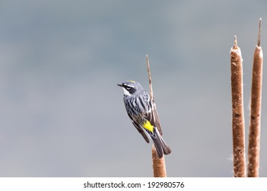 Yellow-rumped Warbler, spring in BC Canada