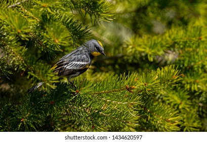 Yellow-rumped Warbler in Yellowstone National Park