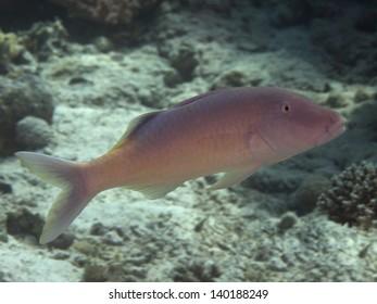 Yellowsaddle goatfish in red sea