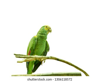Yellow-shouldered amazon, Amazona barbadensis, yellow-shouldered parrot, a parrot of the genus Amazona. Exotic Tropical Bird. Close up Isolated
