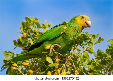Yellow-shouldered Amazon parrot sitting in green tree