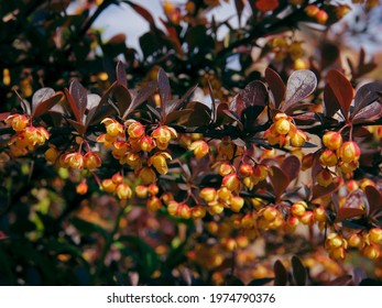 yellow,small flowers of corean burberry bush close up