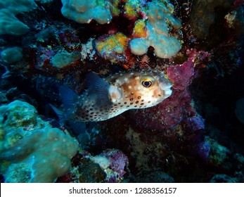 Yellowspotted burrfish, Marsa Mubarak, Marsa Alam area, Egypt