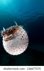 Yellowspotted burrfish using its defense system