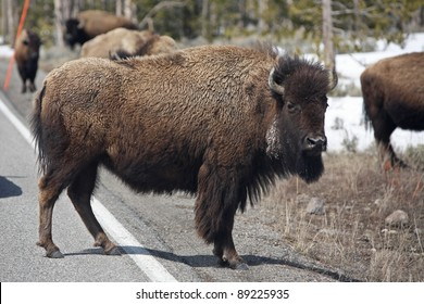 Yellowstone bison are comfortable sharing the road with cars