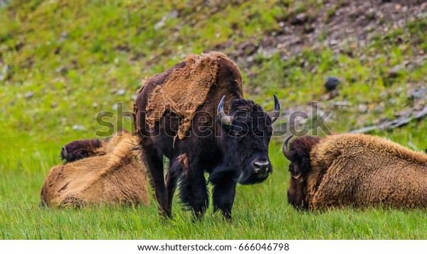 Yellowstone National Park, Madison River Valley, American Bison Herd, Wyoming