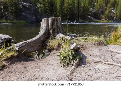 Yellowstone National Park, Teton County, Wyoming, United States. Stump on the Firehole River.