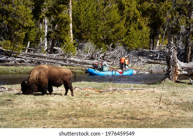 """""""Yellowstone National Park, Wyoming United States April 28th 2021: Ecologists rafting the Yellowstone river to check for fish diseases while wild bison wander in the foreground."""