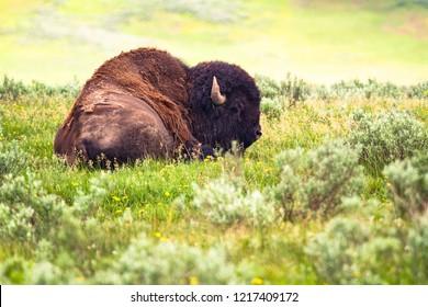 Yellowstone NP: Bison