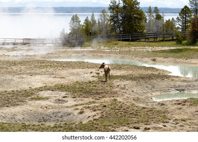Yellowstone, United States - May 31, 2015: Clear, aqua hot spring with deep central hole, steam and limy shoreline, people on boardwalk, West Thumb area of Yellowstone National Park, Wyoming.