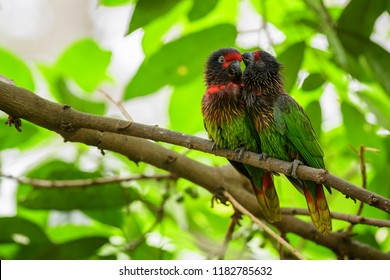 Yellow-streaked Lory - Chalcopsitta scintillata, beautiful colorful parrot from tropical forests and woodlands of Papua New Guinea.
