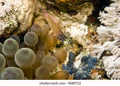 yellow-striped cardinalfish ( apogon cyanosoma)