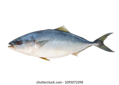 Yellowtail amberjack fish isolated
