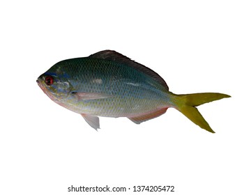 Yellowtail blue snapper, isolated.