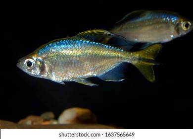 Yellowtail  fish Alestopetersius caudalis - Shutterstock ID 1637565649