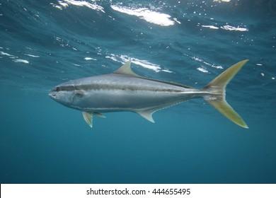 yellowtail kingfish or kingfish, Seriola lalandi, Neptune Islands, South Australia, Indian Ocean