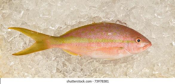 Yellowtail Snapper Fish (Ocyurus chrysurus) On Ice