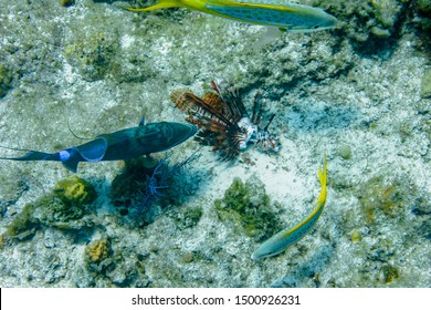 Yellowtail Snapper are kept away as a beautiful Queen Triggerfish feasts on the carcass of an invasive Lionfish in the crystal clear waters of the Turks and Caicos islands.