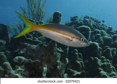 Yellowtail Snapper (Ocyurus chrysurus) in front of coral reef