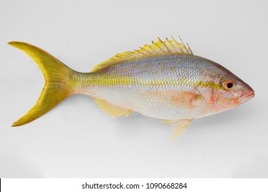 Yellowtail Snapper (Ocyurus chrysurus) isolated on white background