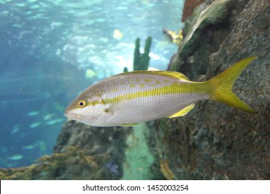 A yellowtail snapper, a silver fish with a yellow stripe along its body, leading to a yellow tail, is seen in an underwater aquarium photograph. The water, coral and rocks, and other fish are behind.
