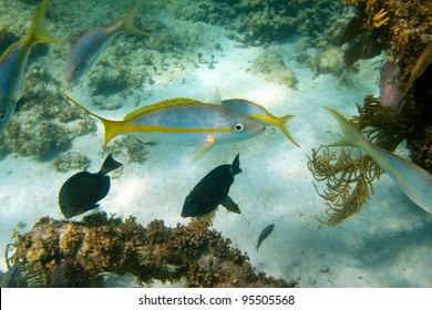 Yellowtail snapper surrounded by other fishes