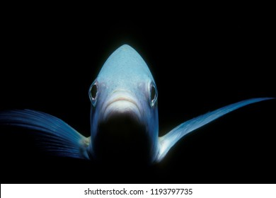 Yellowtail snapper underwater in the Carribean