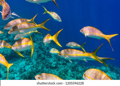 Yellowtail Snappers fish on the coral reef edge. Selective focus