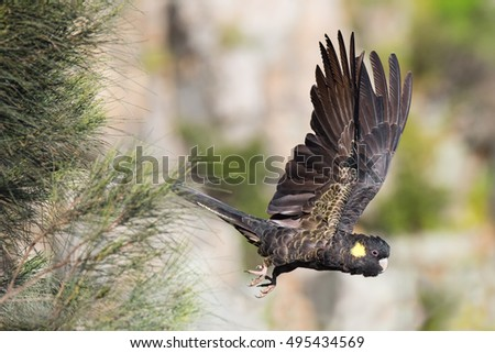 A Yellow-Tailed Black Cockatoo takes flight high in Morialta Conservation Park, part of the Mount Lofty Ranges near Adelaide, South Australia.