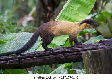 Yellow-throated marten (Martes flavigula), angle level, side shot, in the morning foraging on the old wooden fence of rest area in montane forest, Chong Yen, Mae Wong National Park, north of Thailand.