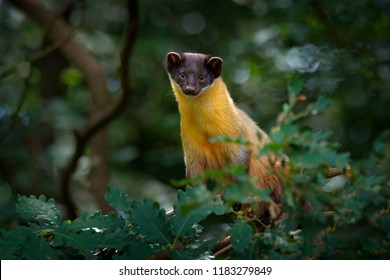 Yellow-throated marten, Martes flavigula, in tree forest habitat, Chitwan National Park, China. Small predator sitting in green vegetation. Beautiful brown yellow cute animal from Asia.