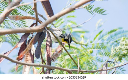Yellow-throated Warbler (Setophaga dominica) Perched in a Tree in Mexico