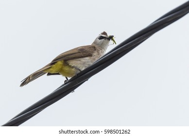 Yellow-vented bulbul isolated on white