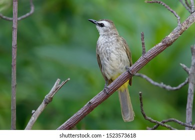 Yellow-vented Bulbul - Pycnonotus goiavier or eastern yellow-vented bulbul, member of bulbul family of passerine birds, resident breeder in southeastern Asia from Indochina to the Philippines. In rain