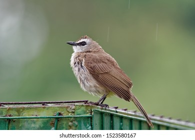 Yellow-vented Bulbul - Pycnonotus goiavier or eastern yellow-vented bulbul, member of bulbul family of passerine birds, resident breeder in southeastern Asia from Indochina to the Philippines