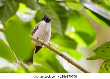 Yellow-vented Bulbul - Pycnonotus goiavier, small perching bird from Indonesia forests and woodlands.