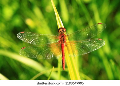 The yellow-winged darter (Sympetrum flaveolum) is a Europe dragonfly, male.