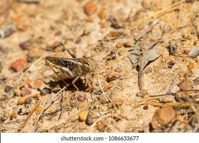 Yellow-winged Locust, brown grasshopper. Grassland locust in Australia  (Gastrimargus musicus)