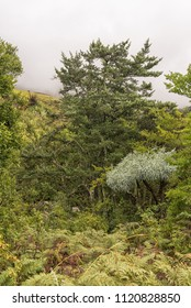 A Yellowwood tree, a Mountain Kiepersol trees and tree ferns in the Kwazulu-Natal Drakensberg